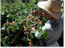 Доминиканский кофе — эликсир жизни