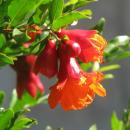 Летнее предложение – чайный напиток «Гранатовый цветок»